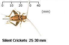 Banded Brown Cricket Adults