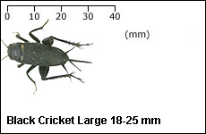 Black Cricket Large