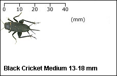 Black Cricket Medium