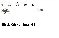 Black Cricket Small