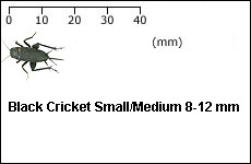 Black Cricket Small Medium