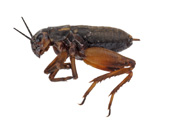 brown-silent-cricket-adult