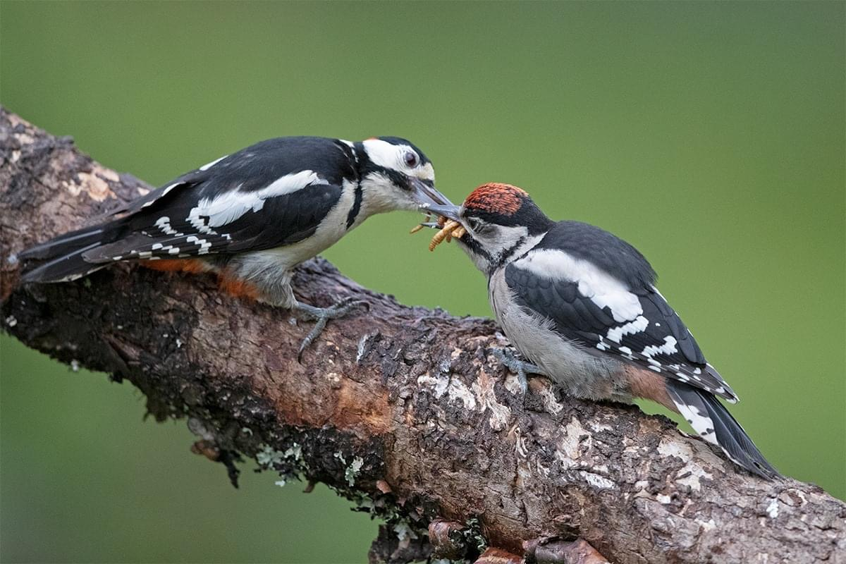 Two fledgling woodpeckers being fed