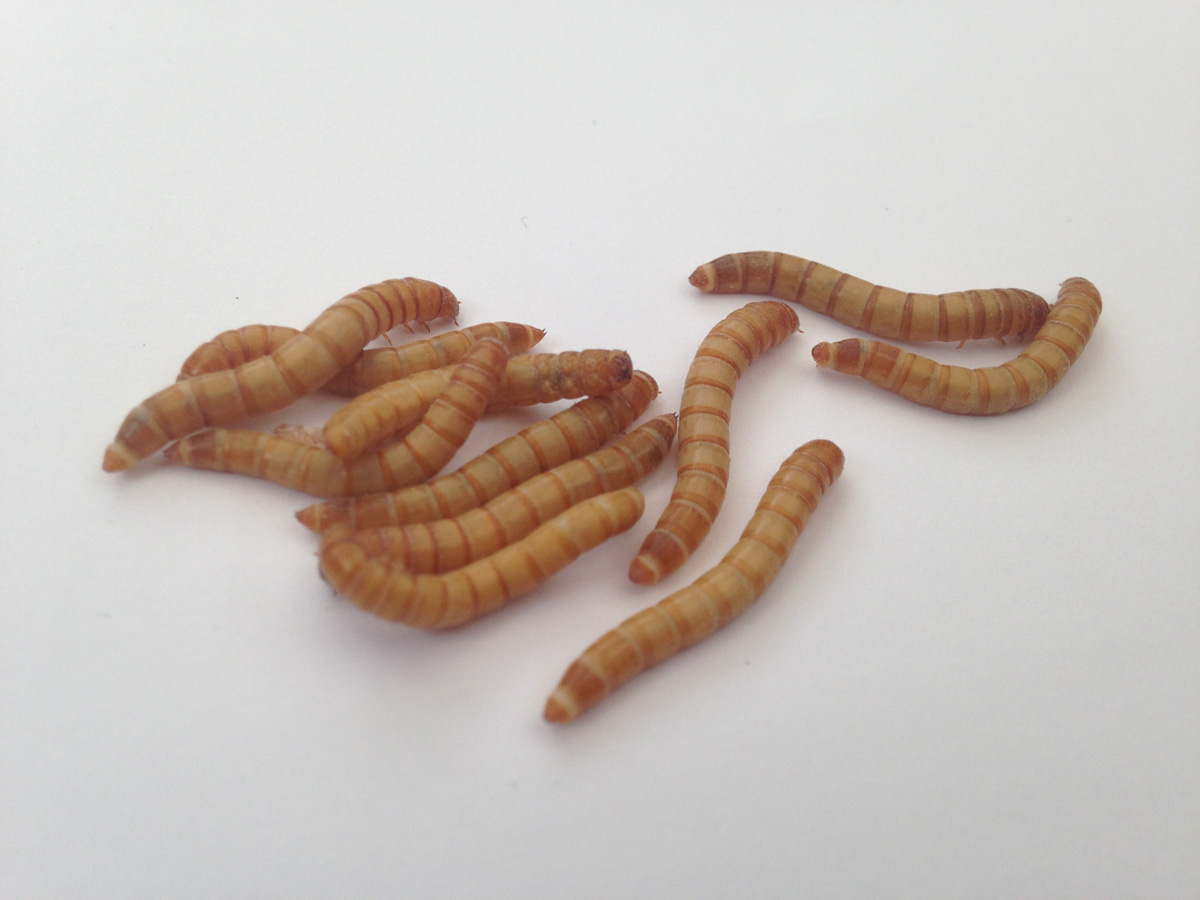 A group of mealworms